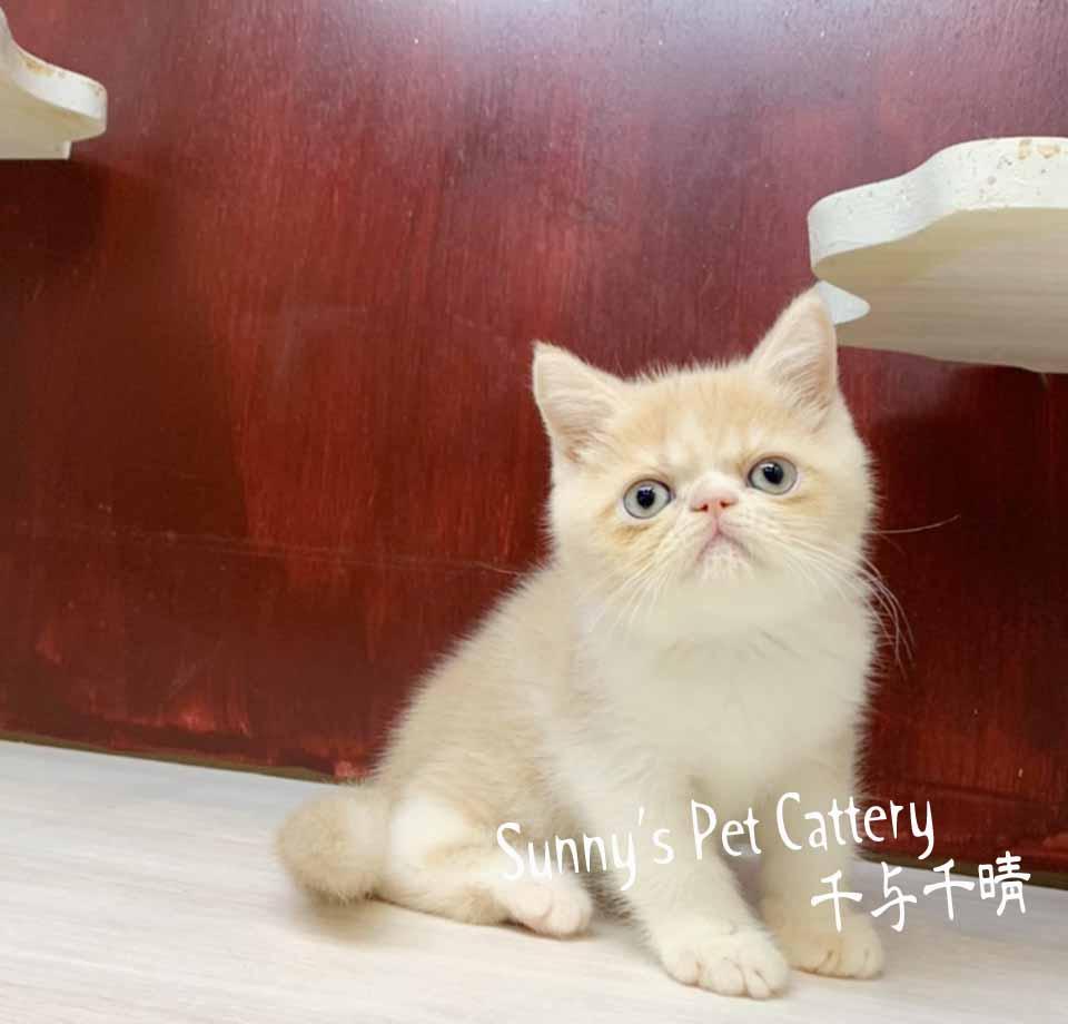 千晴寵物坊/奶油白加菲貓