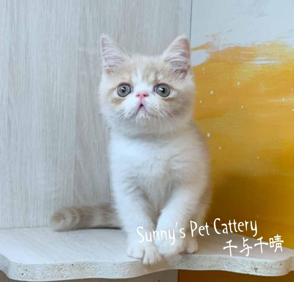 千晴寵物坊/奶油白異國短毛貓