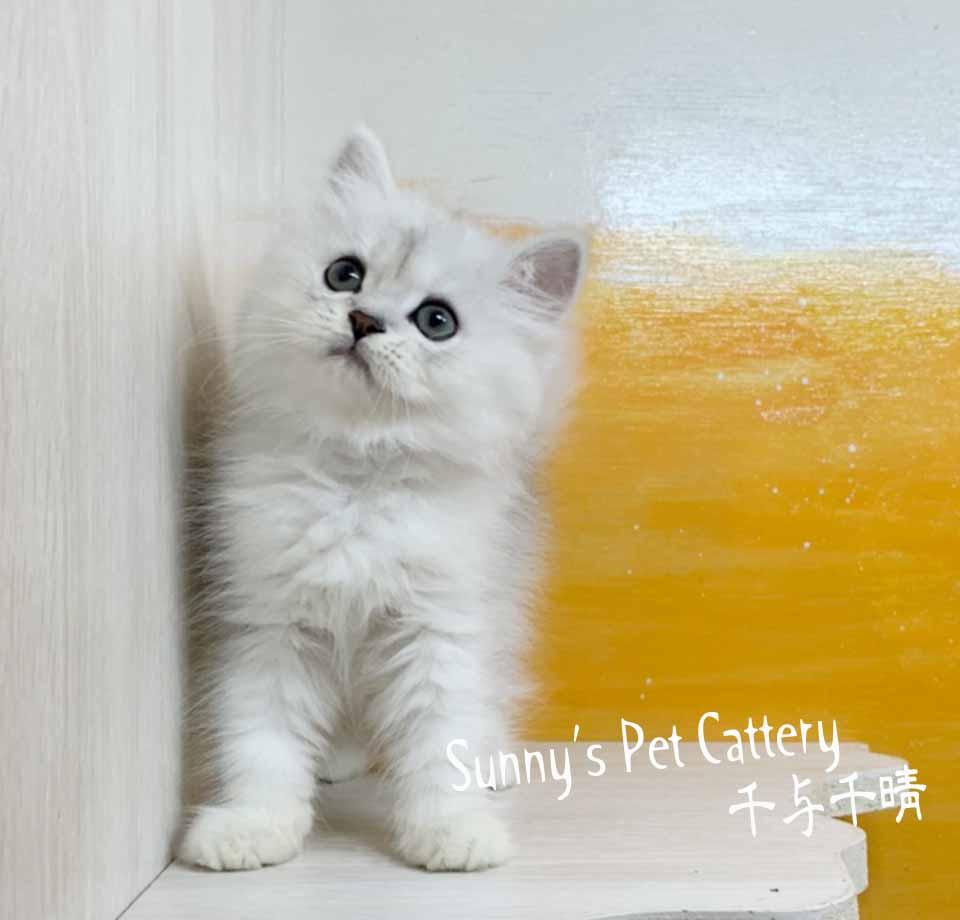 千晴寵物坊/銀白色 金吉拉歐巴