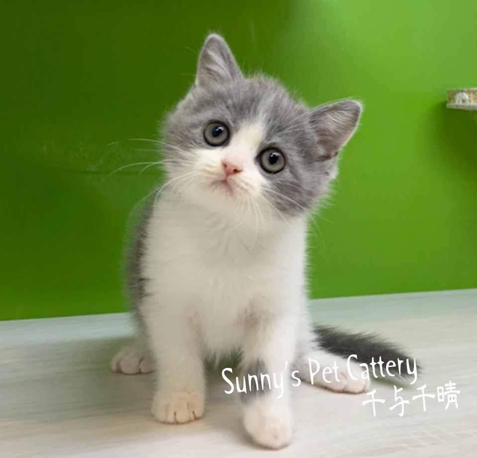 千晴寵物坊/藍白賓士英國短毛貓
