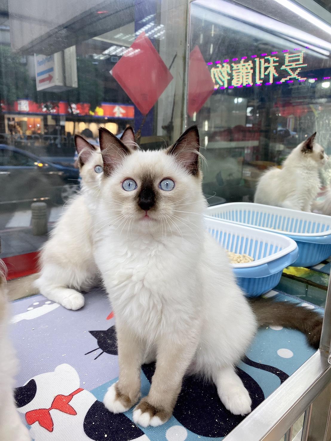 旻利寵物坊/布偶貓🐱海豹手套妹妹