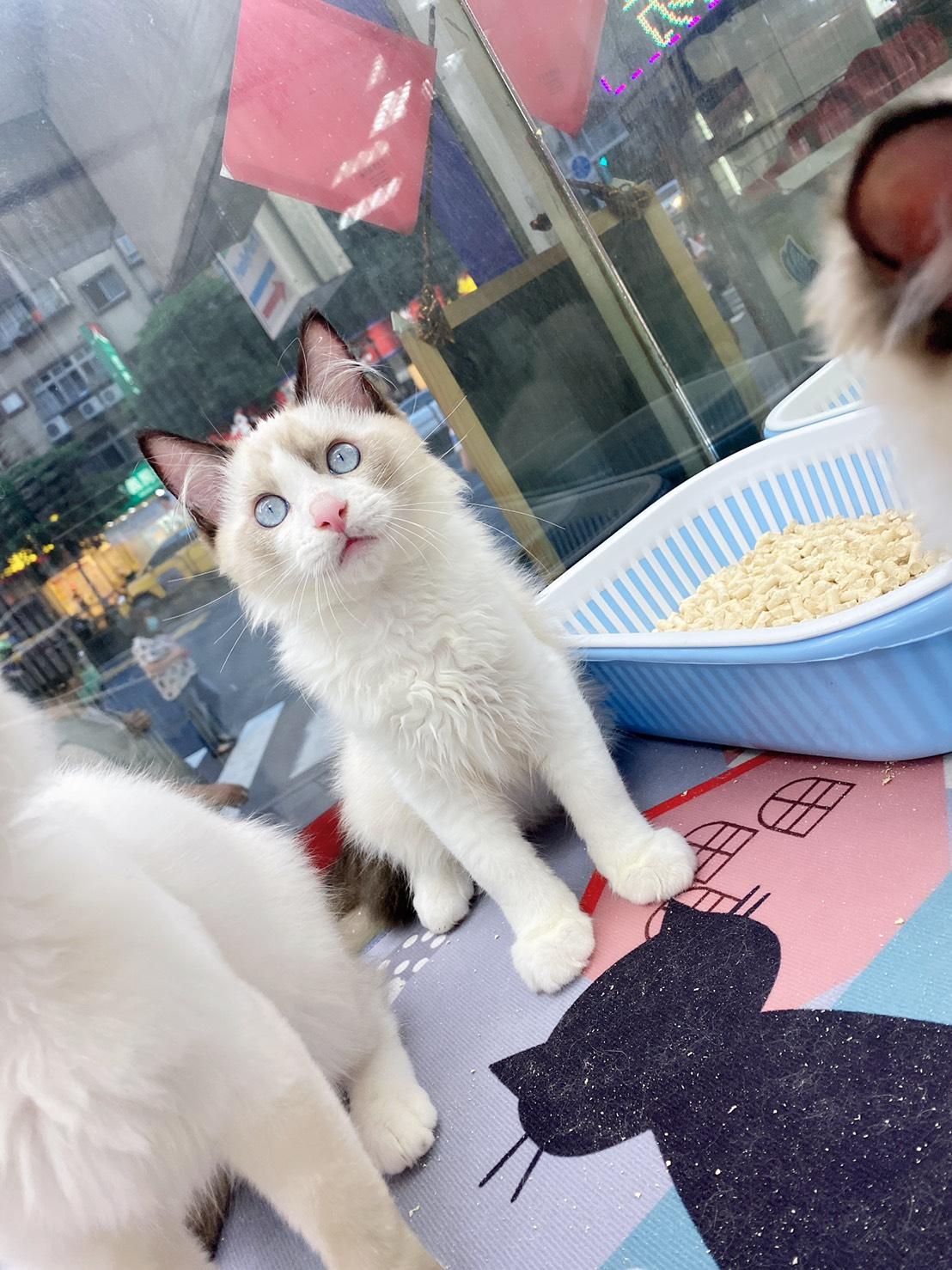旻利寵物坊/布偶貓🐱海豹雙色弟弟