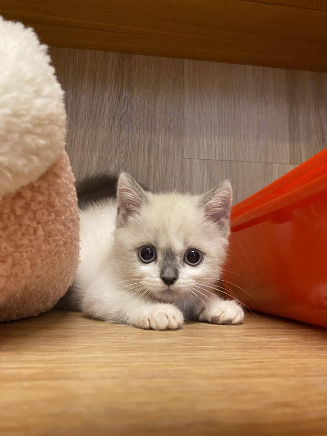 朵貓貓旅館/奶油英短 黑鼻小男神