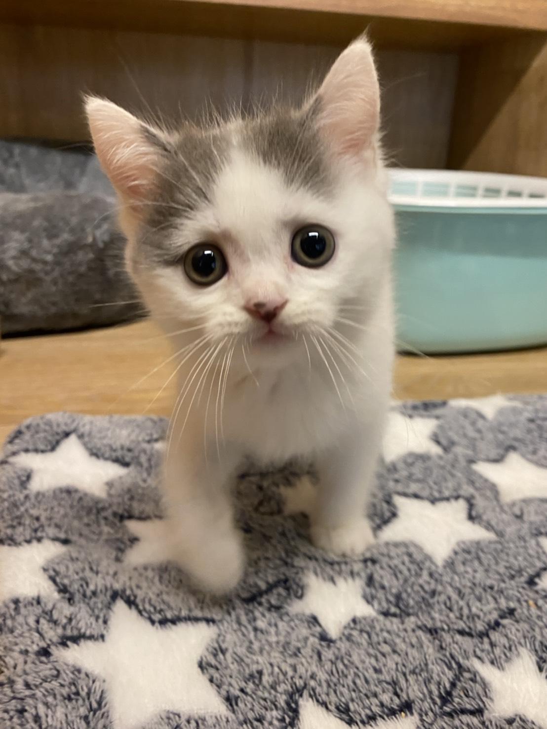 朵貓貓旅館/中分花美男 英短弟弟