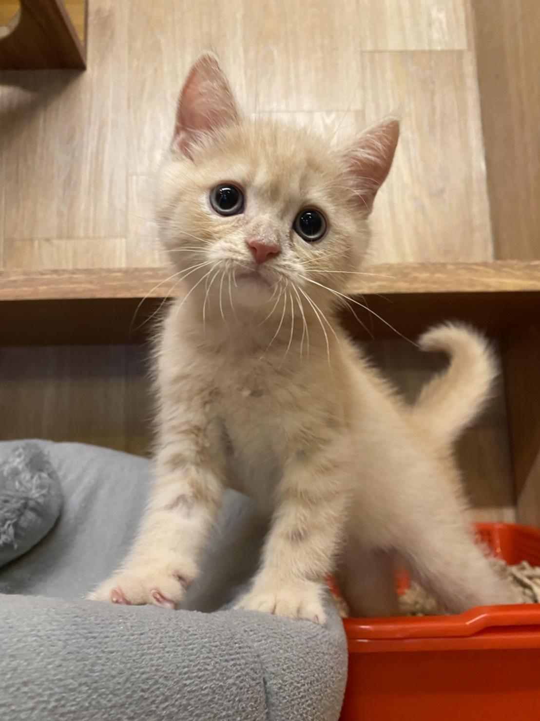朵貓貓旅館/奶油英短小男生