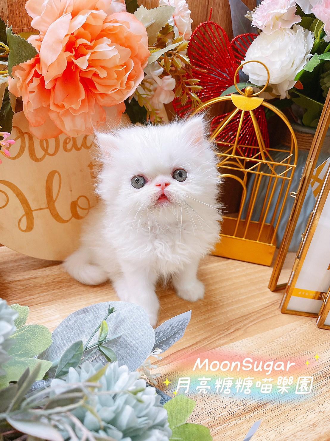 月亮糖糖喵樂園/白色波斯貓妹妹