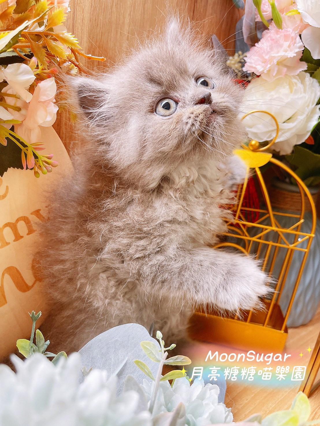 月亮糖糖喵樂園/藍色波斯貓