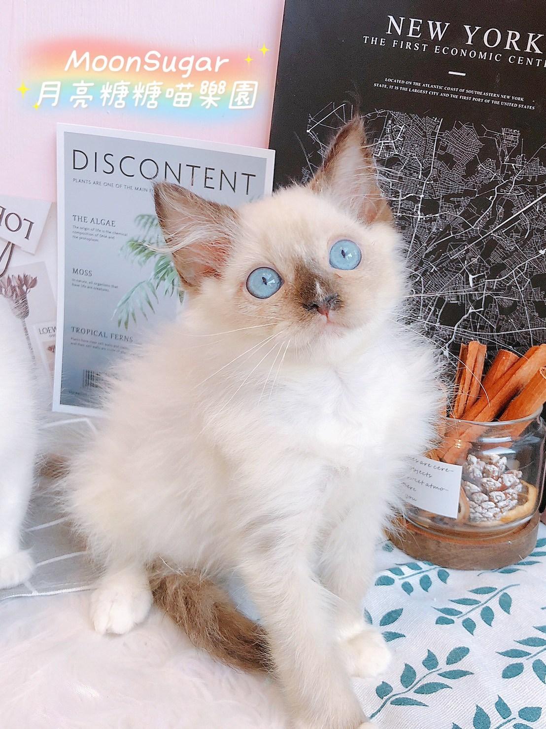 月亮糖糖喵樂園/流星重點小手套布偶貓