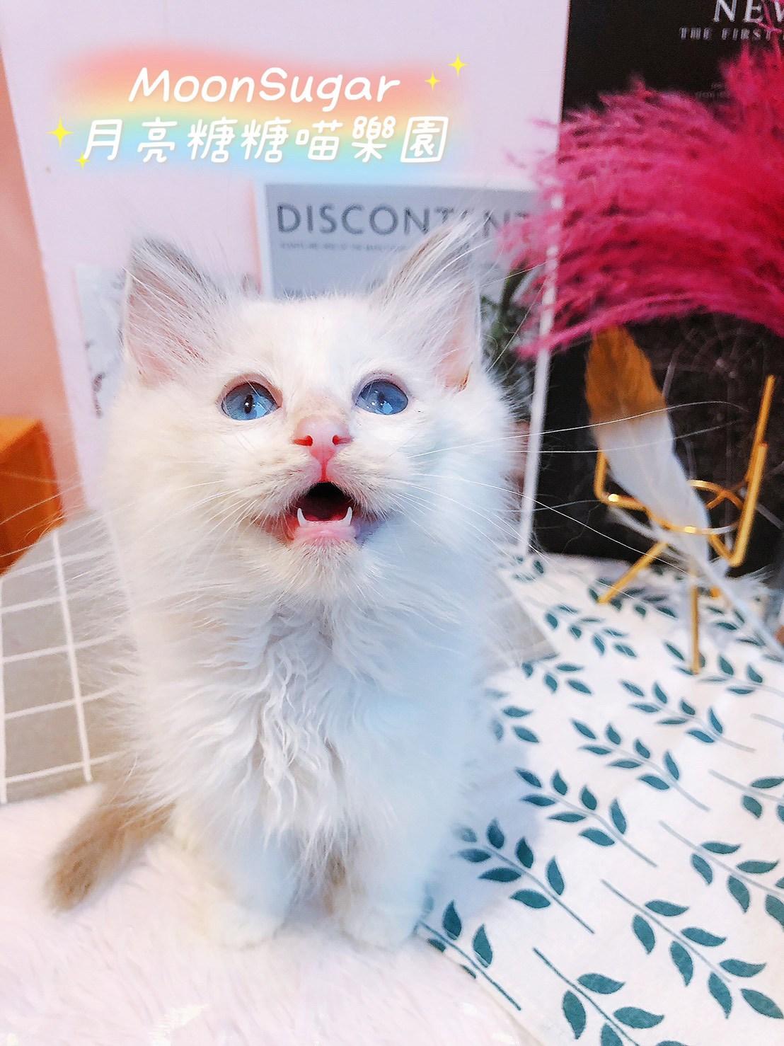 月亮糖糖喵樂園/藍雙色布偶貓