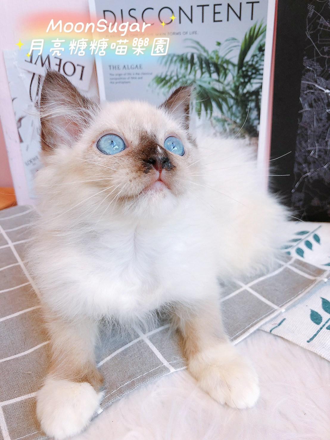月亮糖糖喵樂園/流星重點 手套布偶貓