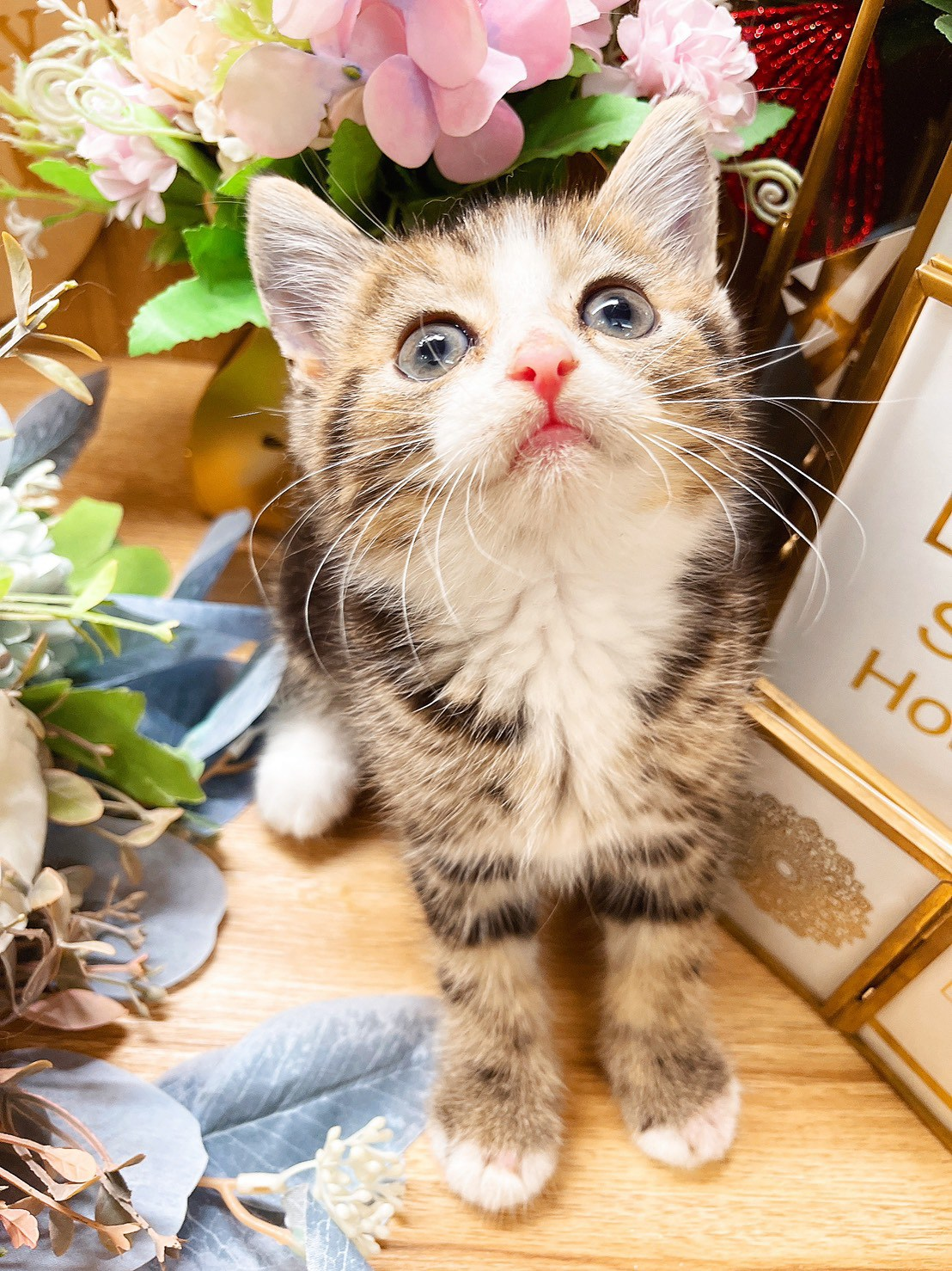 月亮糖糖喵樂園/虎斑賓士英國短毛貓