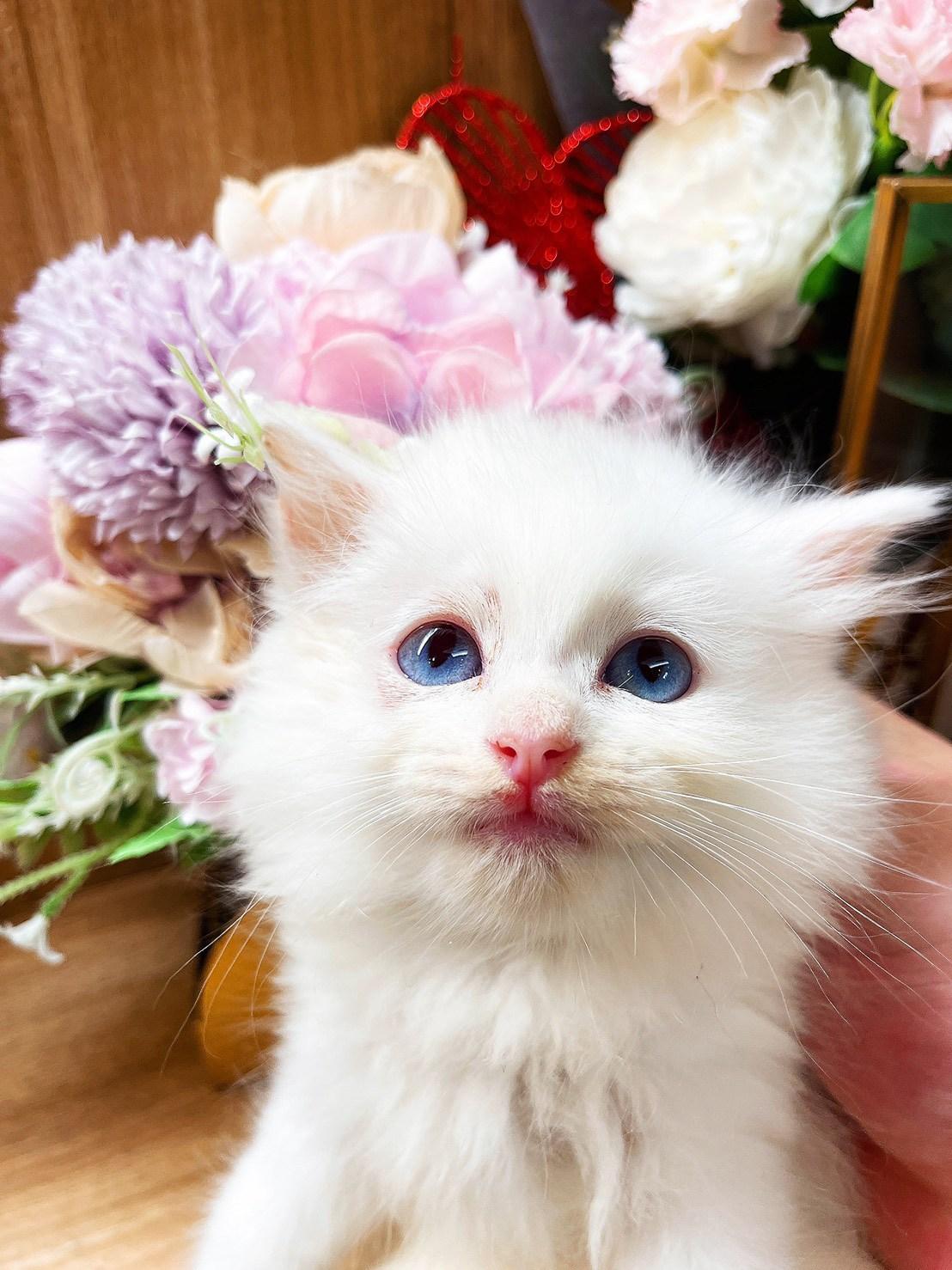 月亮糖糖喵樂園/奶油白色布偶貓妹妹