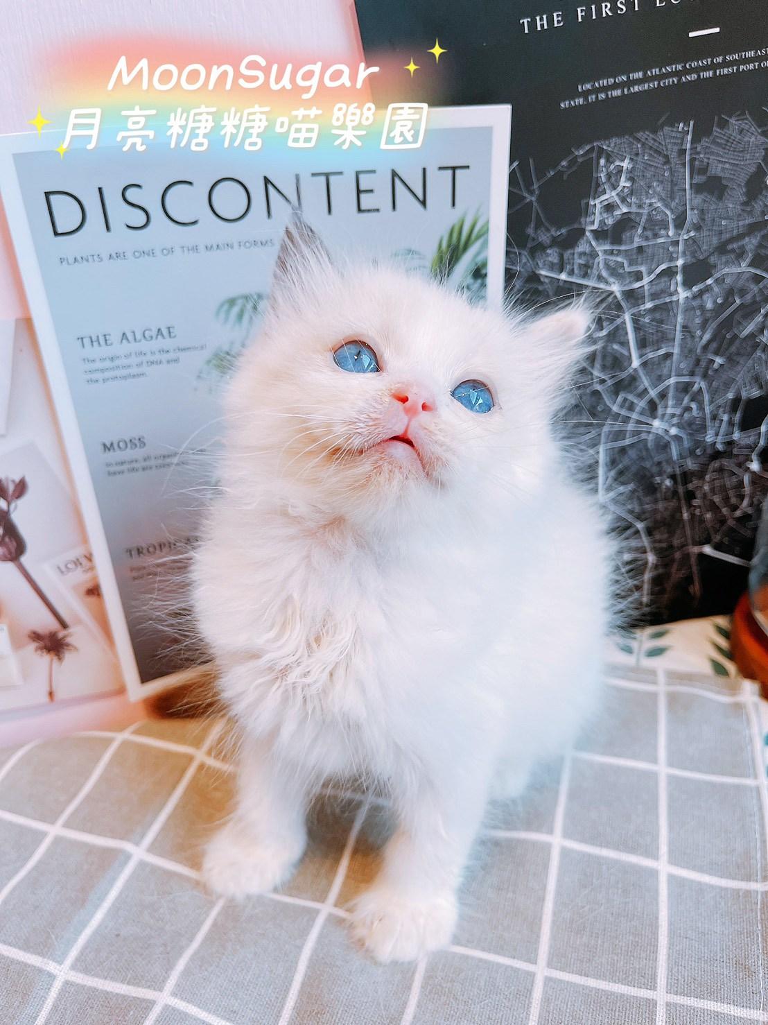月亮糖糖喵樂園/山貓紋布偶貓