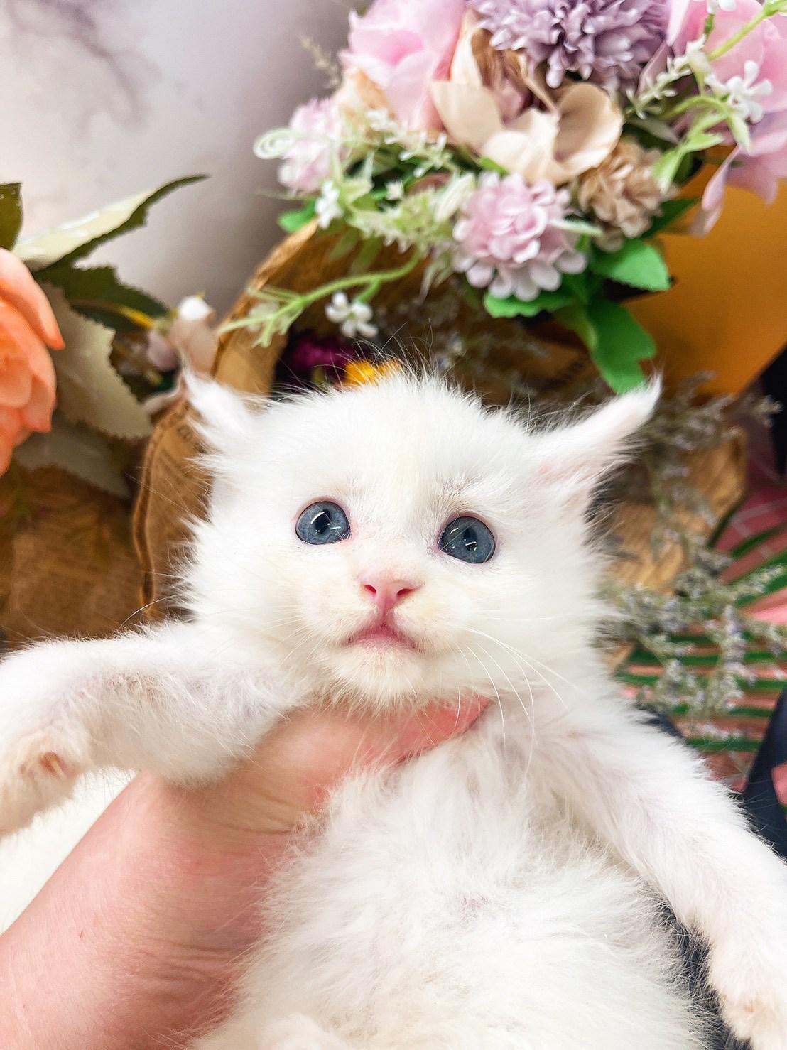 月亮糖糖喵樂園/純白色緬因貓