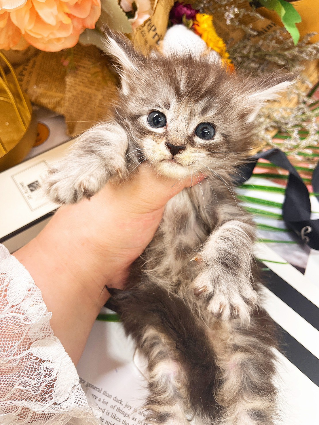 月亮糖糖喵樂園/銀白色緬因貓