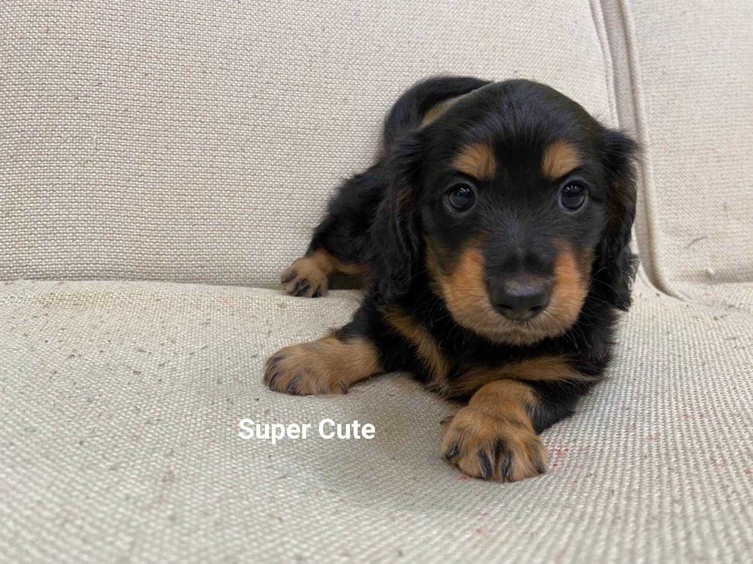 超可愛名犬社/超可愛的長毛臘腸