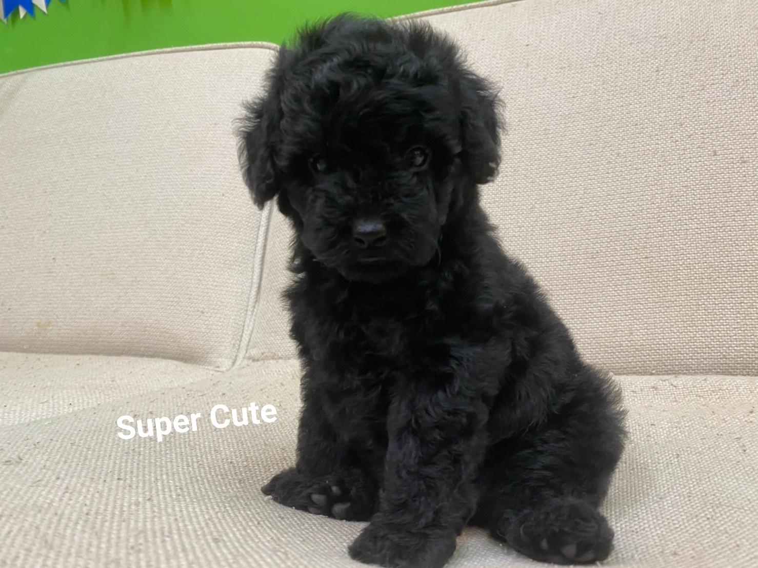 超可愛名犬社/超可愛的黑貴賓