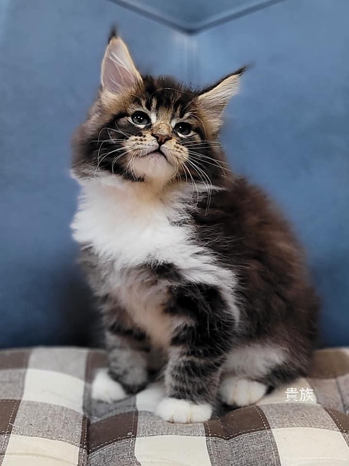 貴族寵物坊/棕虎斑白襪緬因貓女孩
