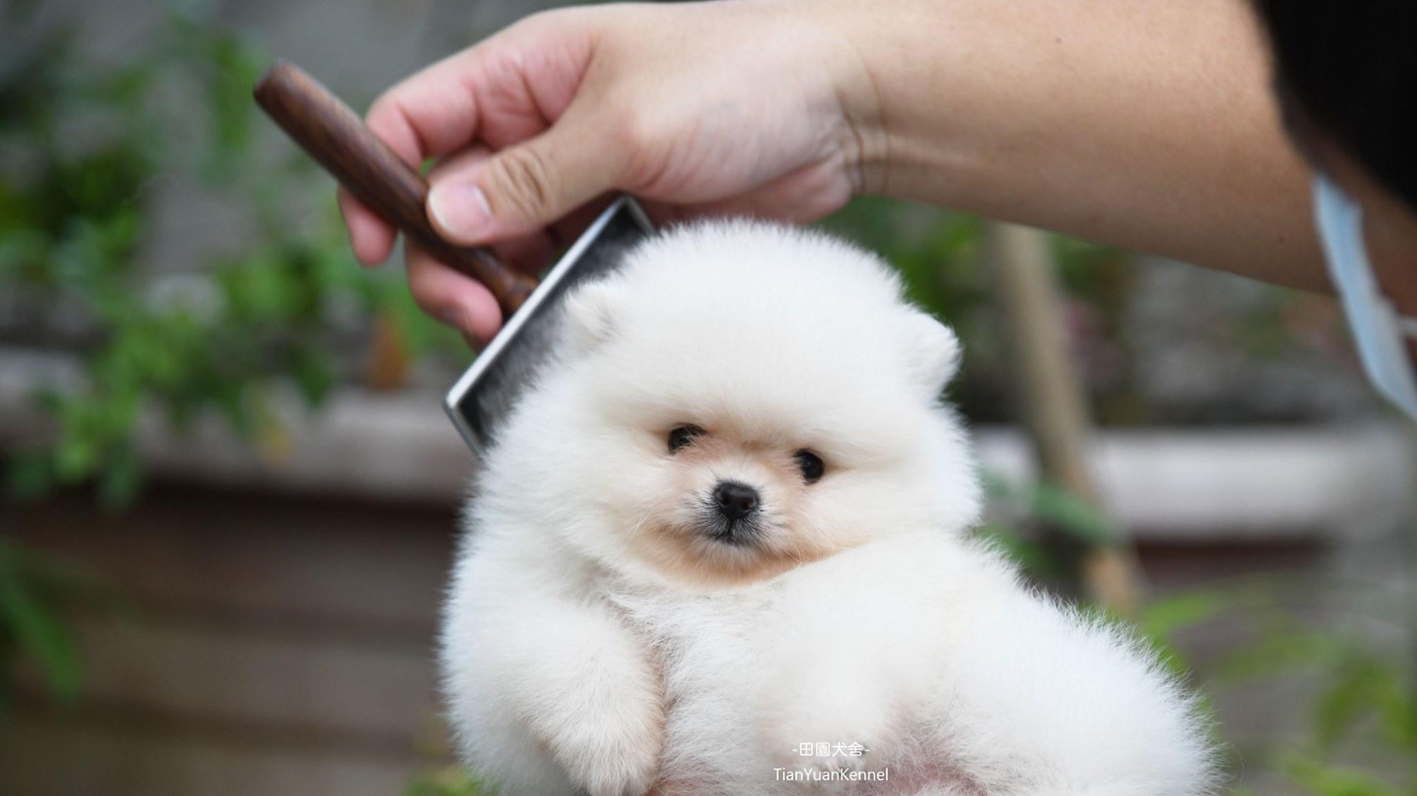 田園寵物莊/白博美幼犬
