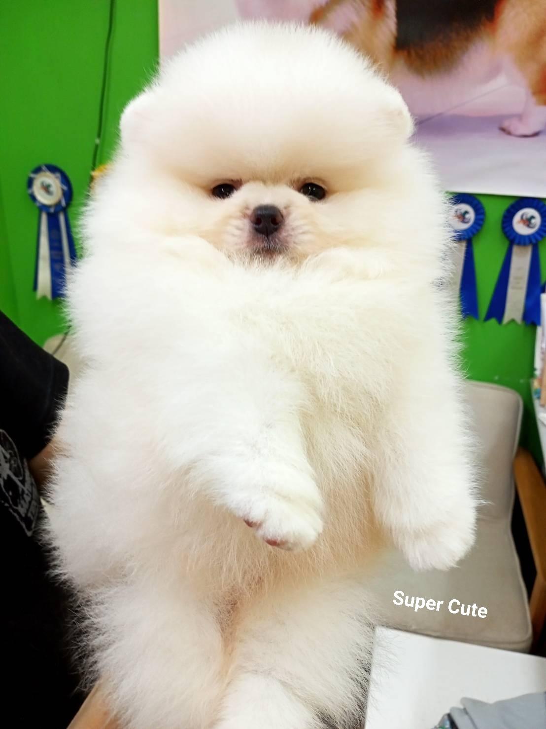 超可愛名犬社/超可愛的白博美