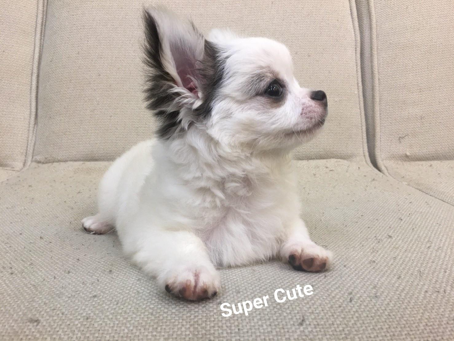 超可愛名犬社/超可愛的長毛吉娃娃