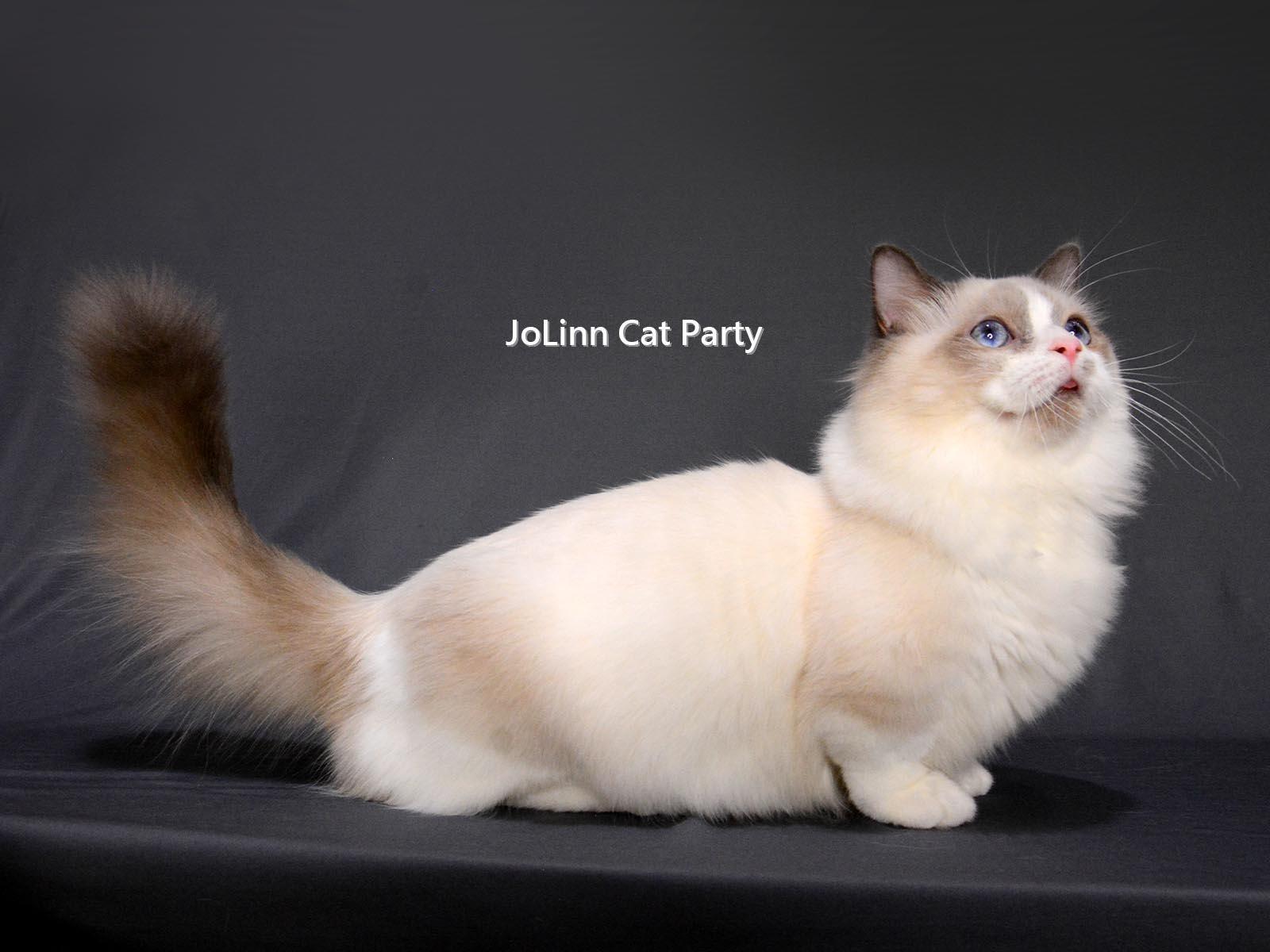 貓咪派對/短腿布偶貓 曼赤肯