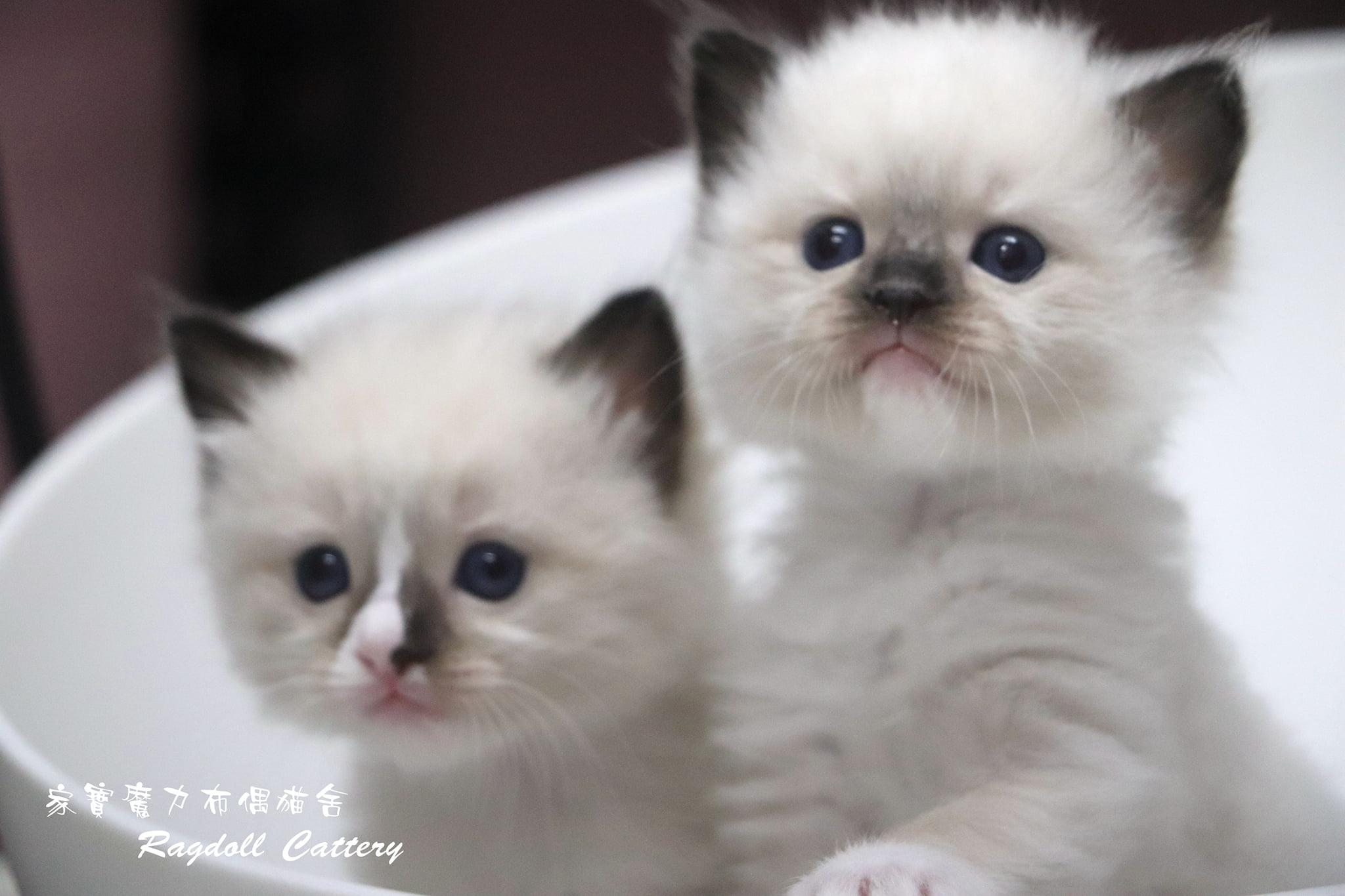 家寶寵物/海豹色布偶貓