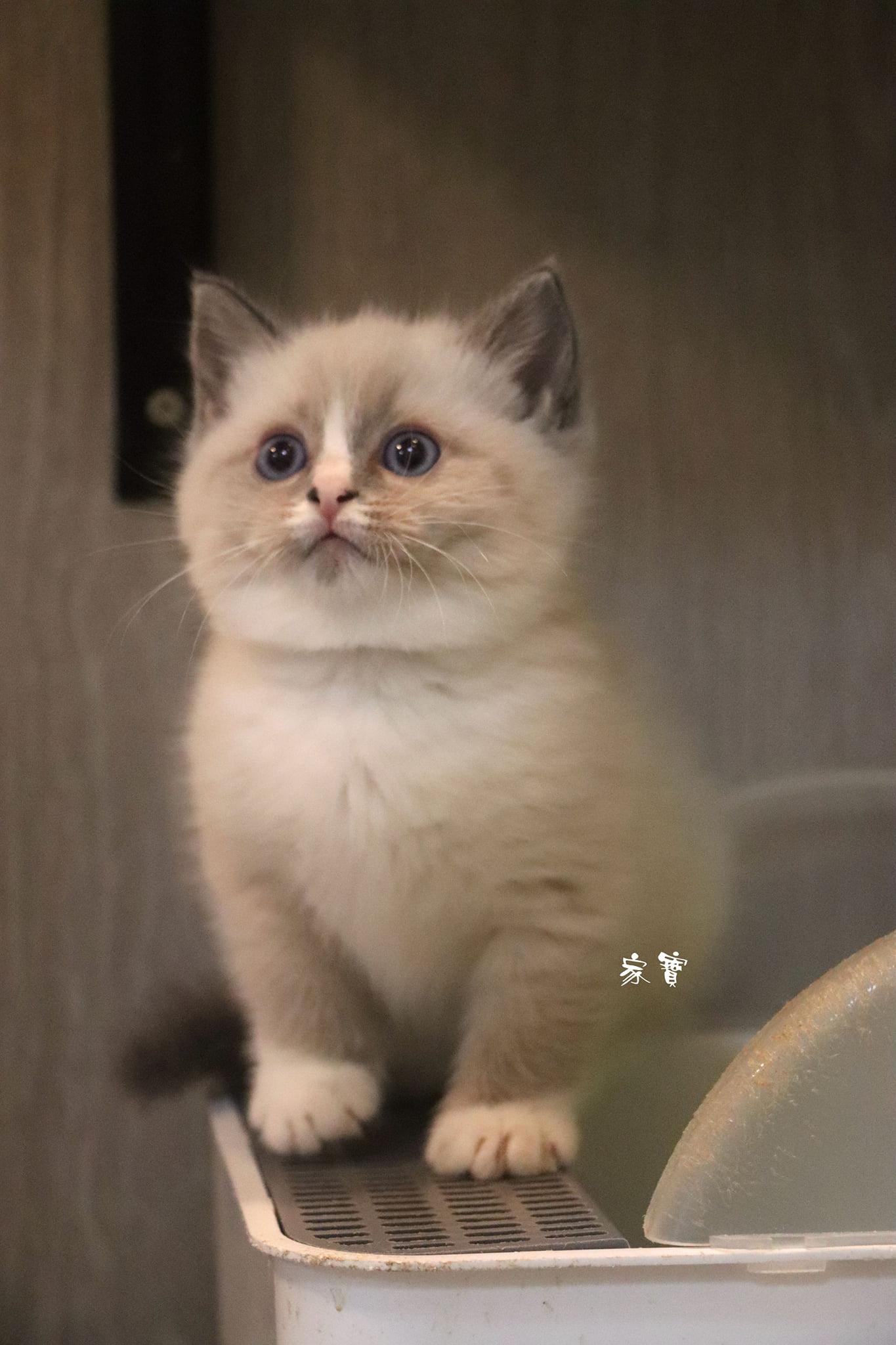 家寶寵物/藍端手套色英短 女生