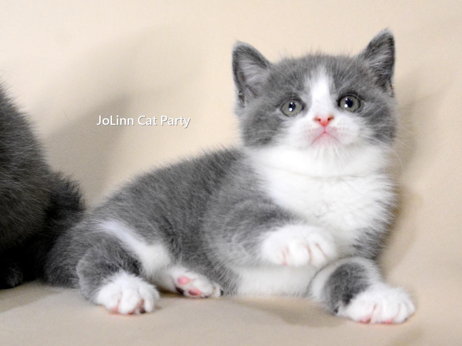 貓咪派對/藍白賓士英短 藍英短
