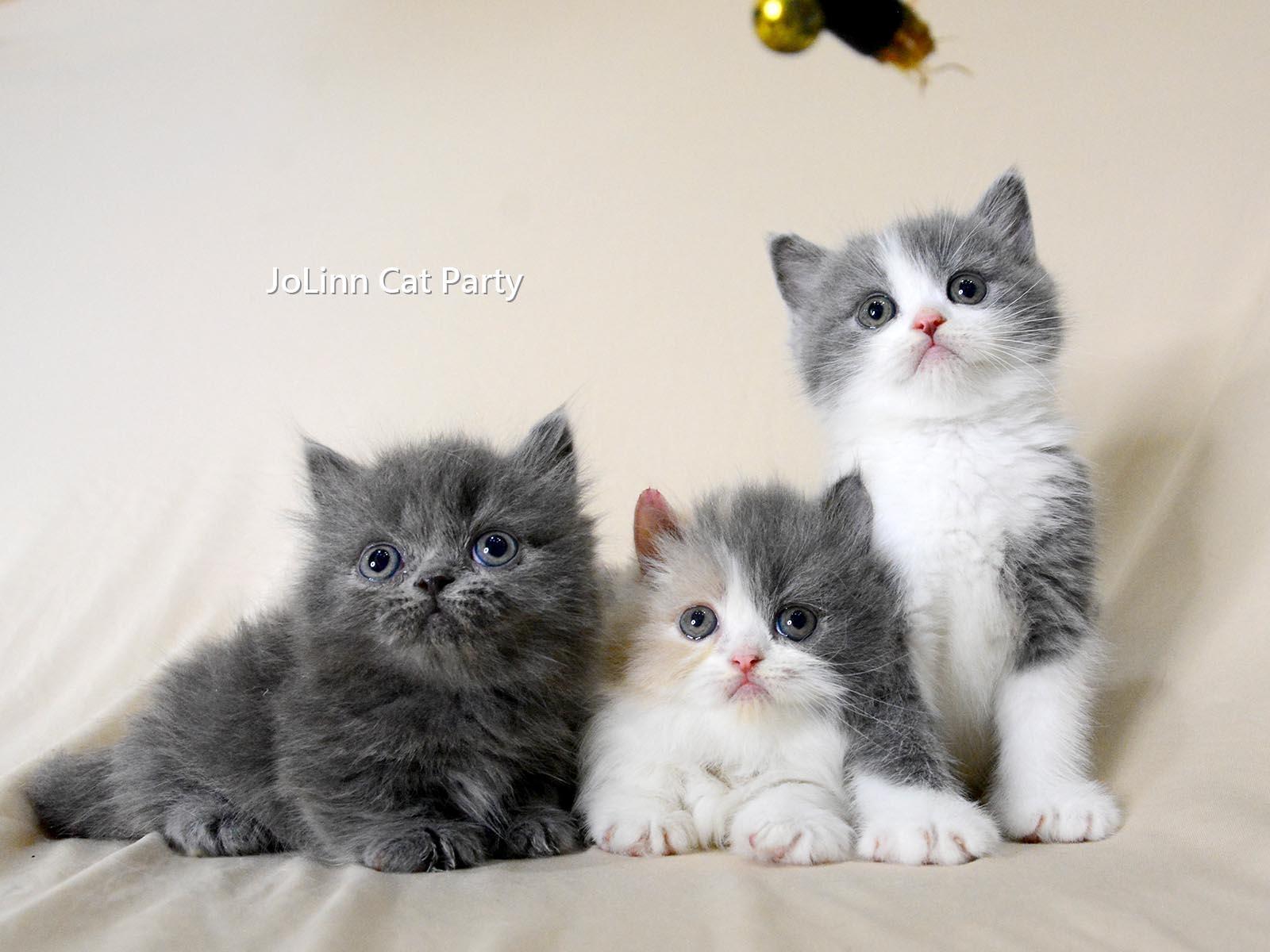 貓咪派對/藍白賓士英短 藍色、三花小步舞曲