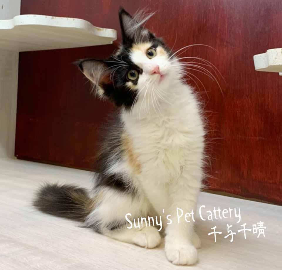 千晴寵物坊/黑三花挪威森林貓妹妹
