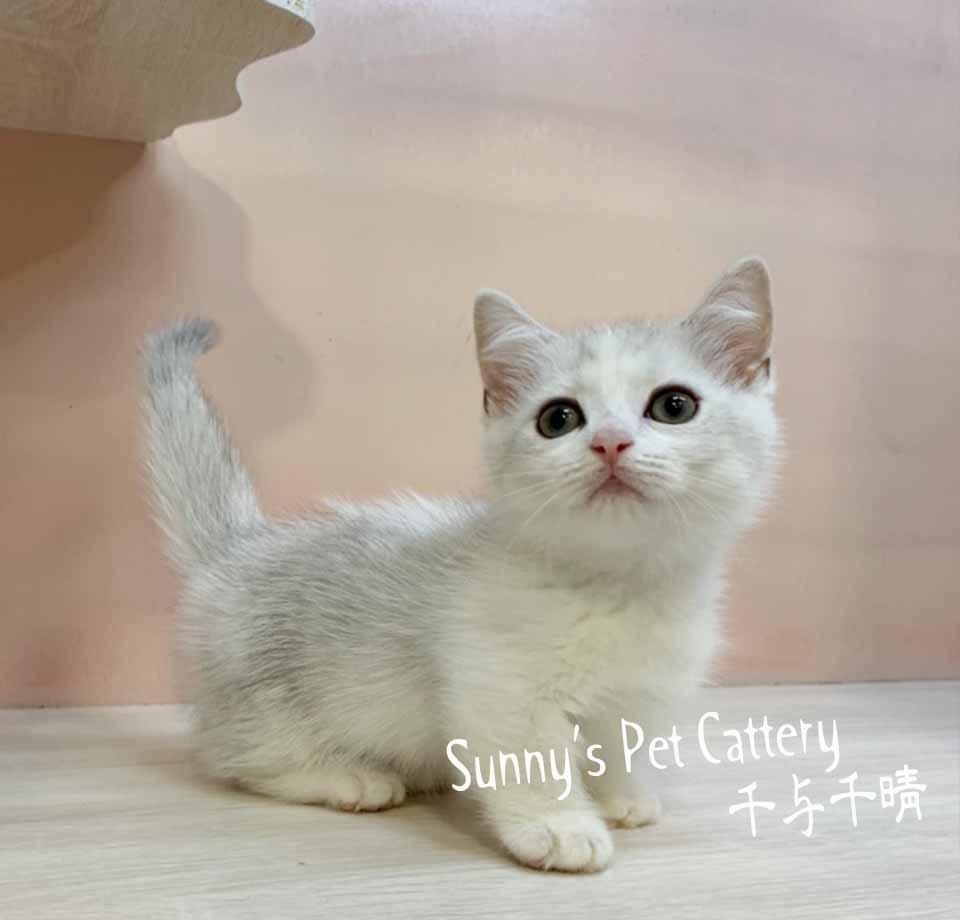 千晴寵物坊/銀漸層賓士加白曼赤肯短腿貓