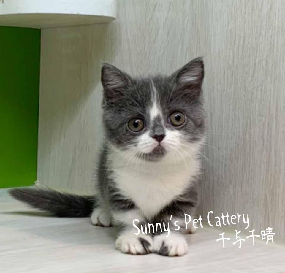 千晴寵物坊/藍白色 曼赤肯短腿貓