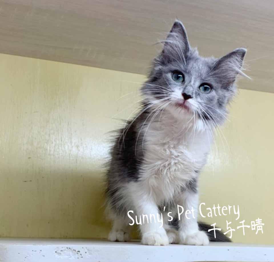 千晴寵物坊/藍白色 挪威森林貓