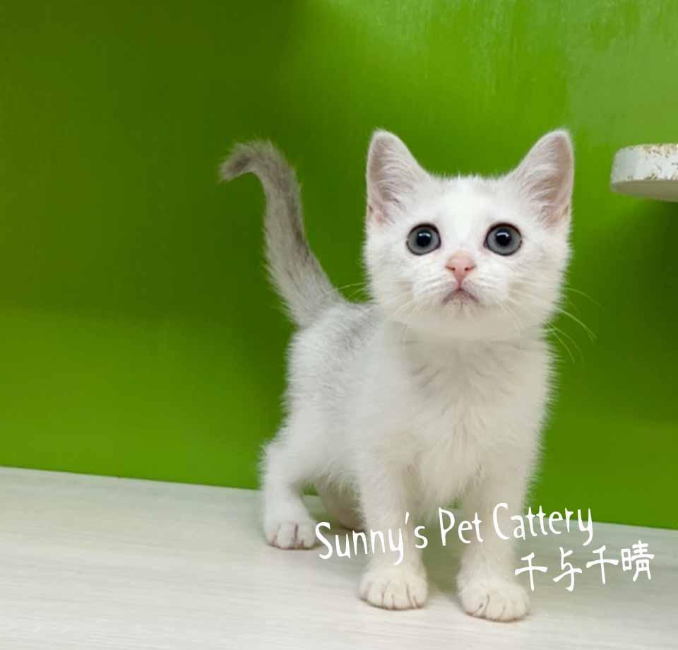 千晴寵物坊/銀漸層賓士加白英國短毛貓