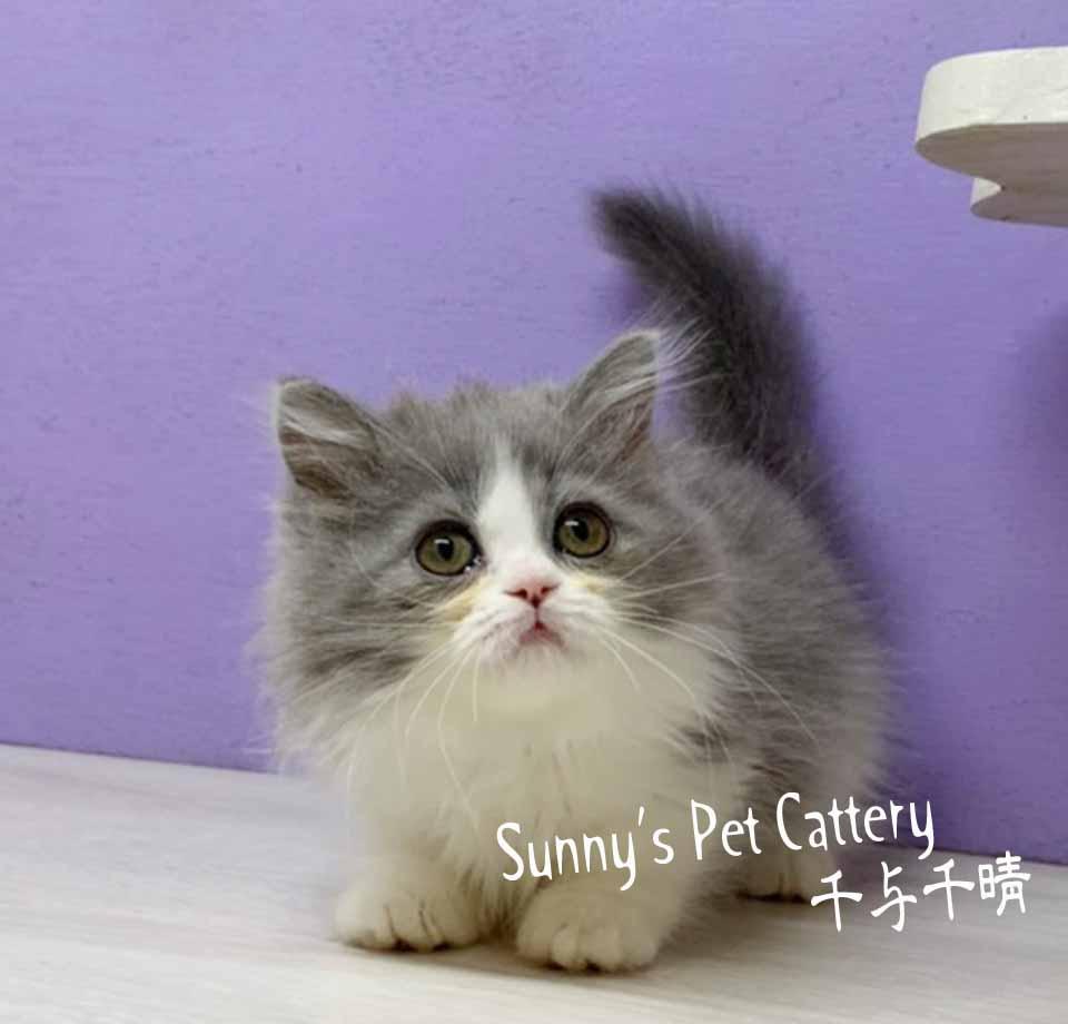 千晴寵物坊/藍白賓士小步舞曲短腿貓