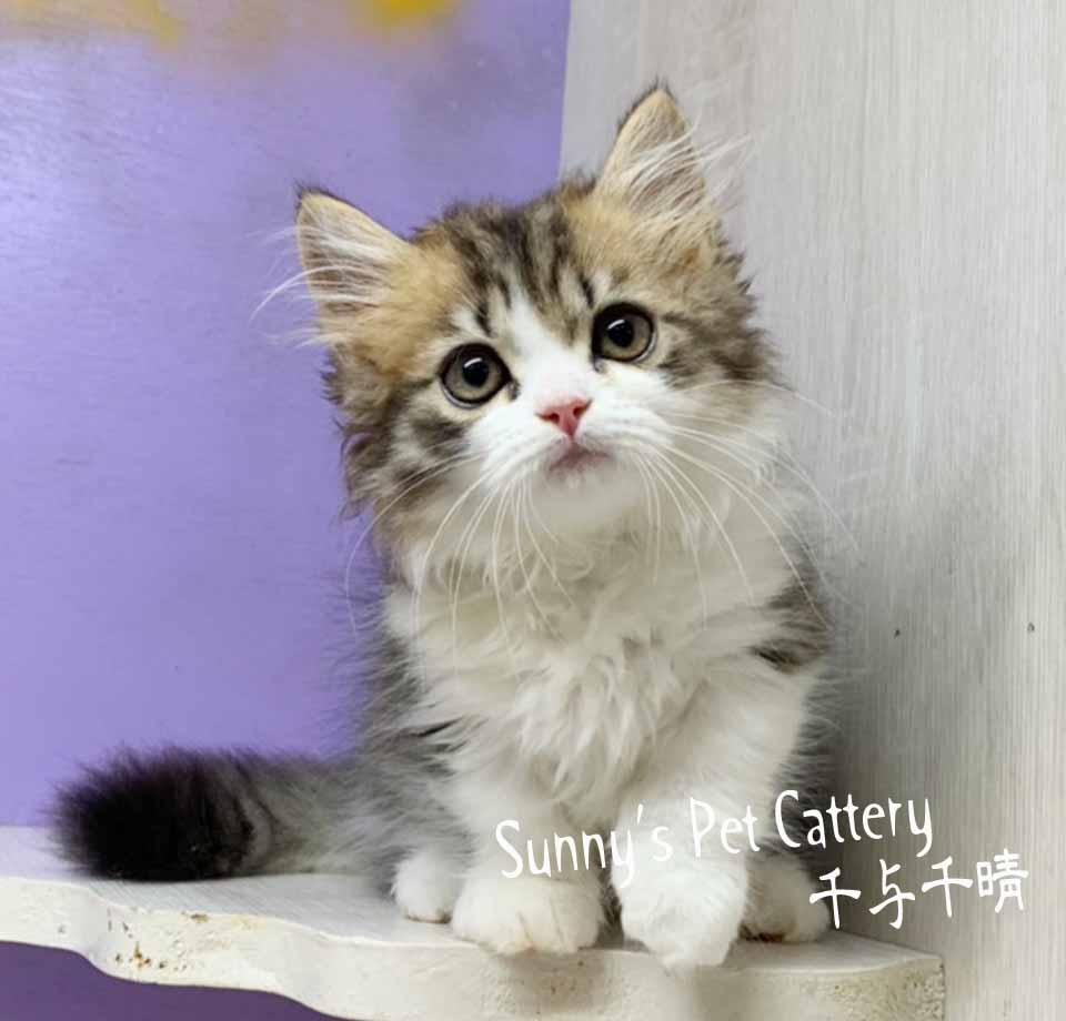千晴寵物坊/虎斑白賓士卡拉小步舞曲短腿貓