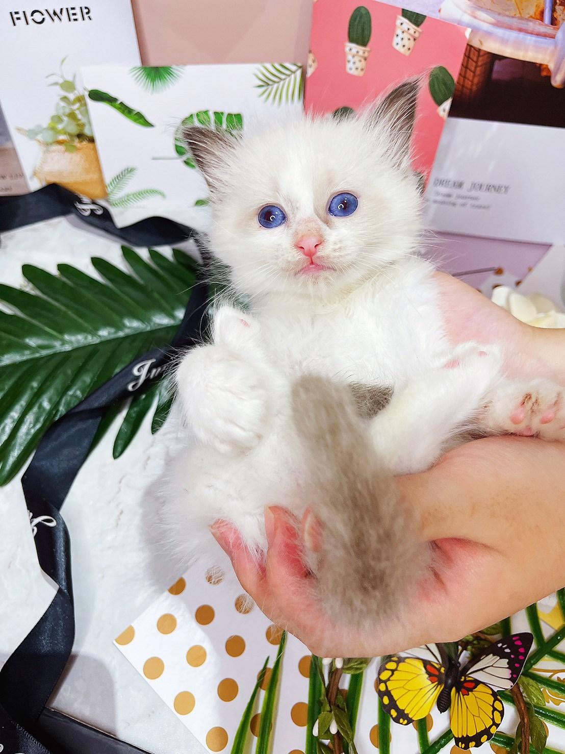 月亮糖糖喵樂園/海豹雙色布偶貓