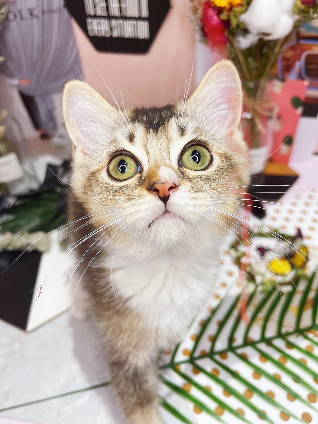 月亮糖糖喵樂園/黑金加白英國短毛貓
