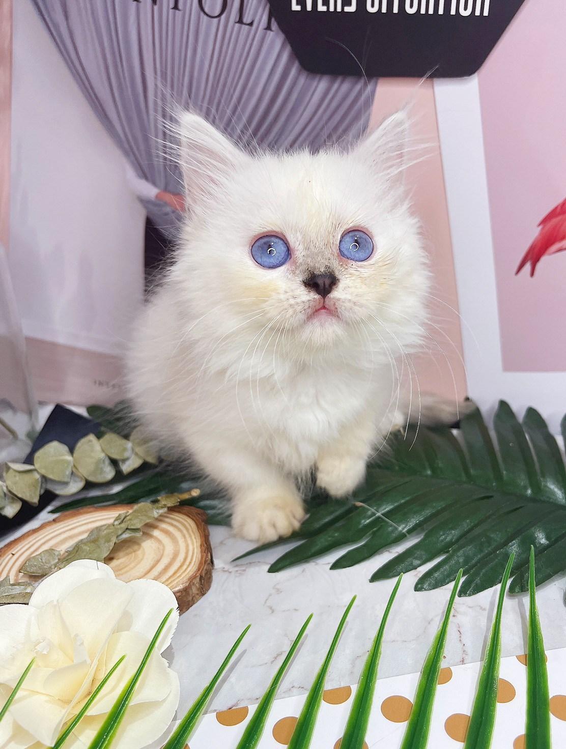 月亮糖糖喵樂園/重點色短腿貓