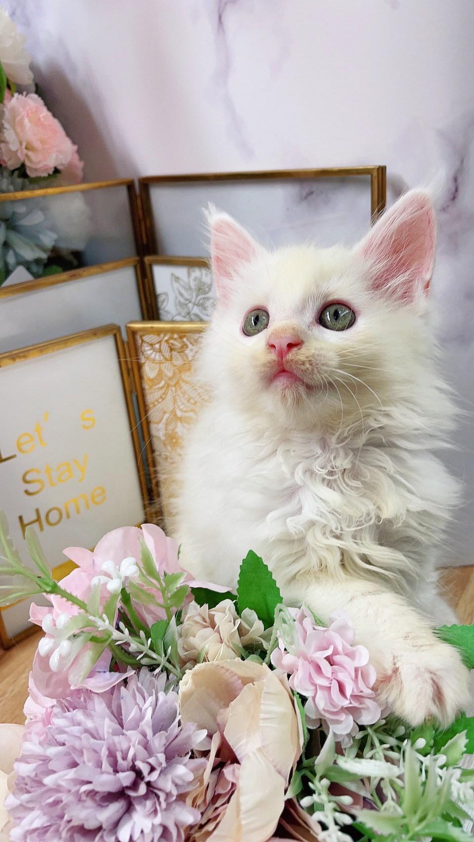 月亮糖糖喵樂園/純白緬因貓