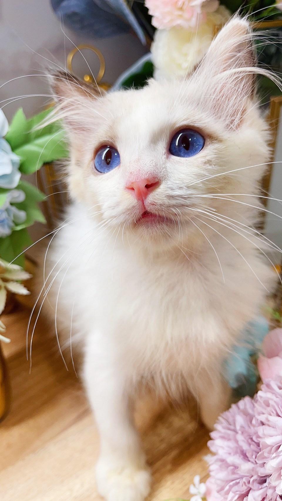 月亮糖糖喵樂園/海豹雙色 布偶貓