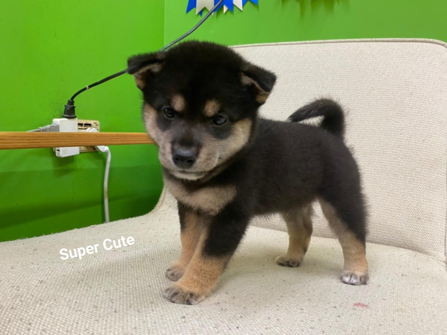 超可愛名犬社/超可愛的黑四目柴犬