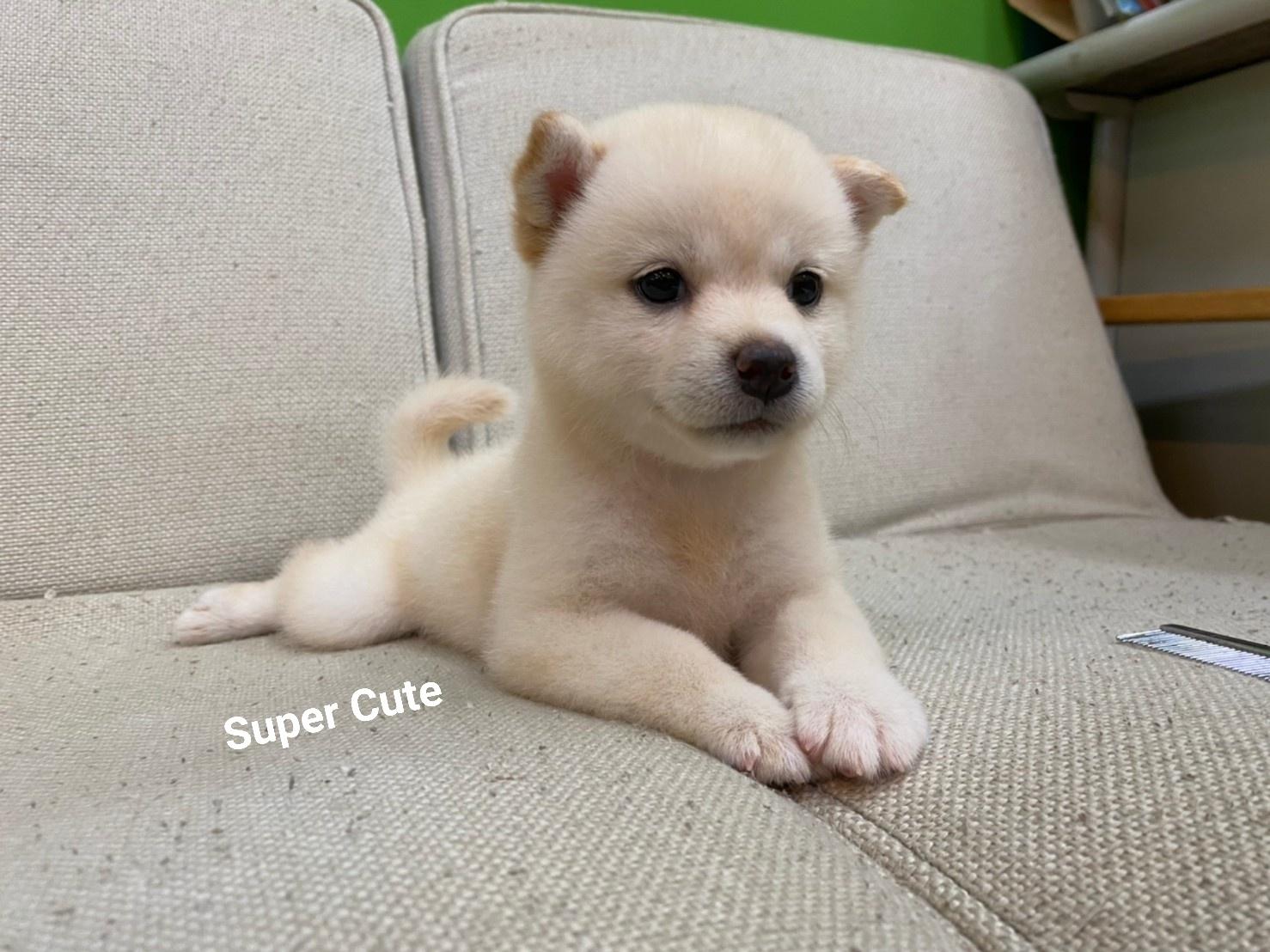 超可愛名犬社/超可愛的小白柴
