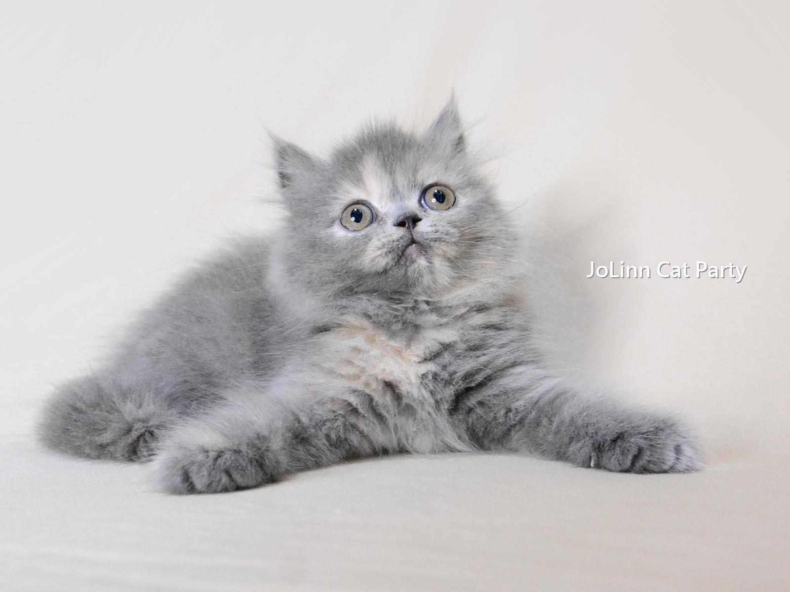 貓咪派對/藍奶油玳瑁色英國長毛貓