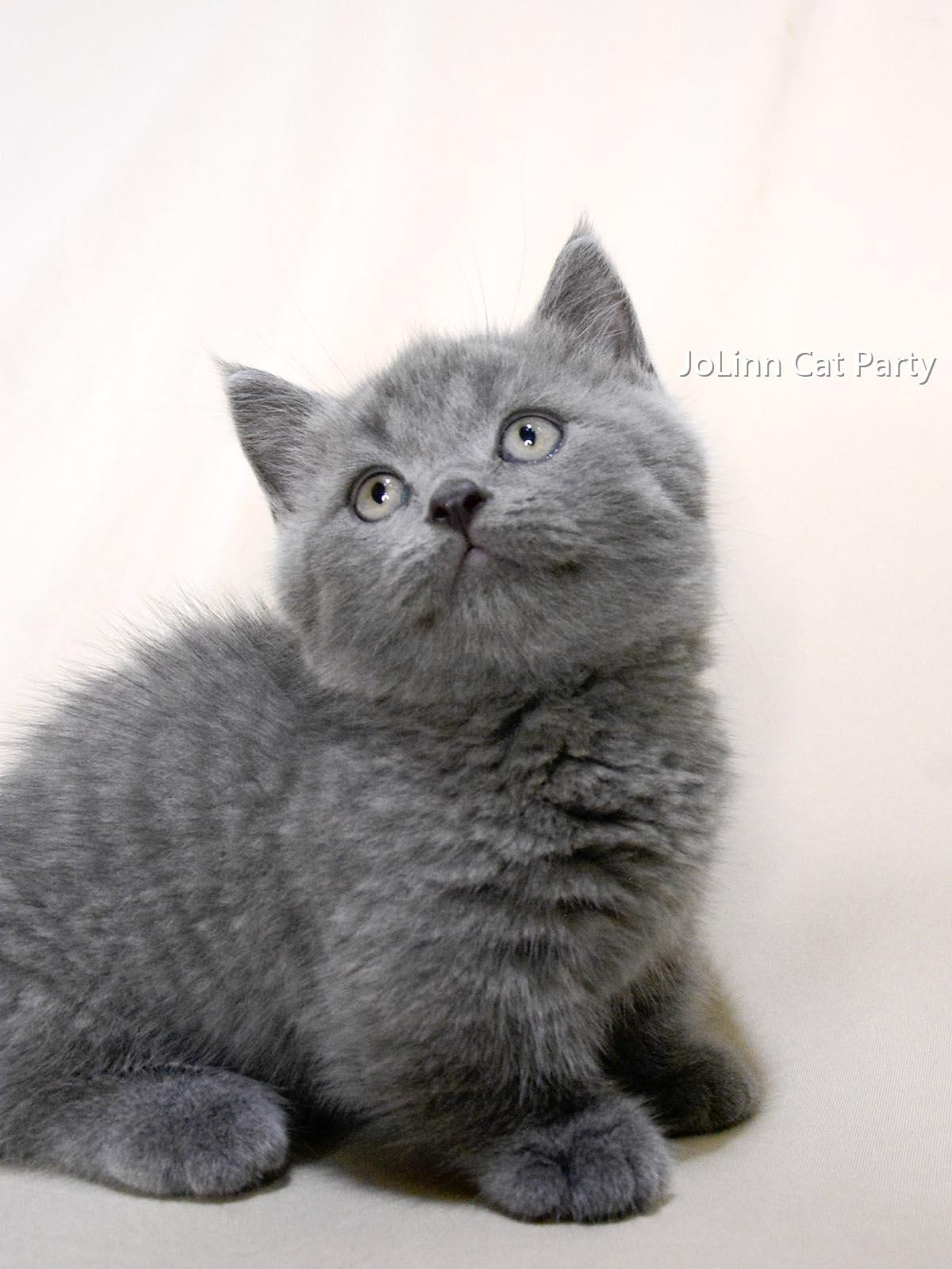 貓咪派對/藍色 曼赤肯短腿貓