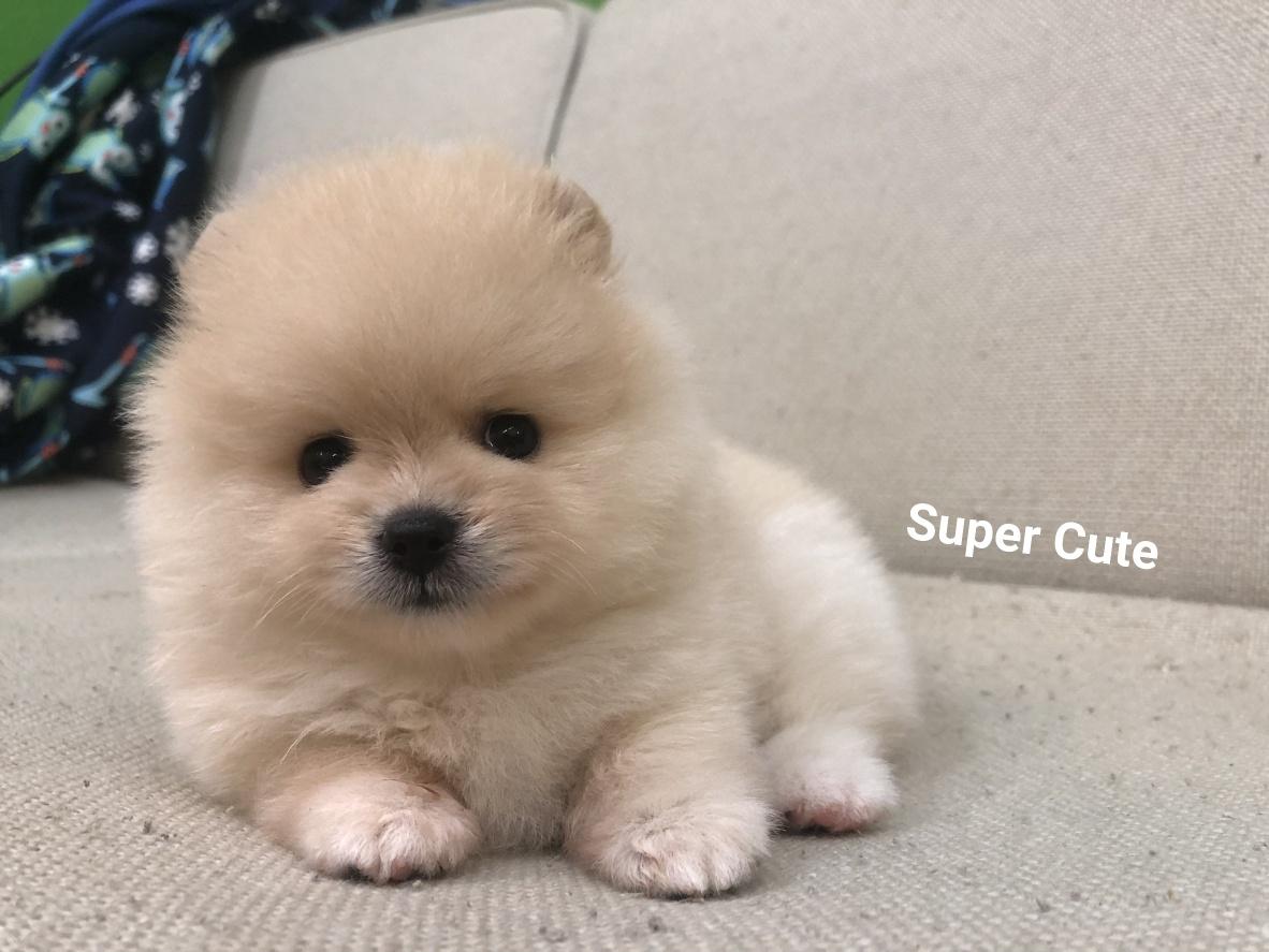 超可愛名犬社/超可愛的奶油博美