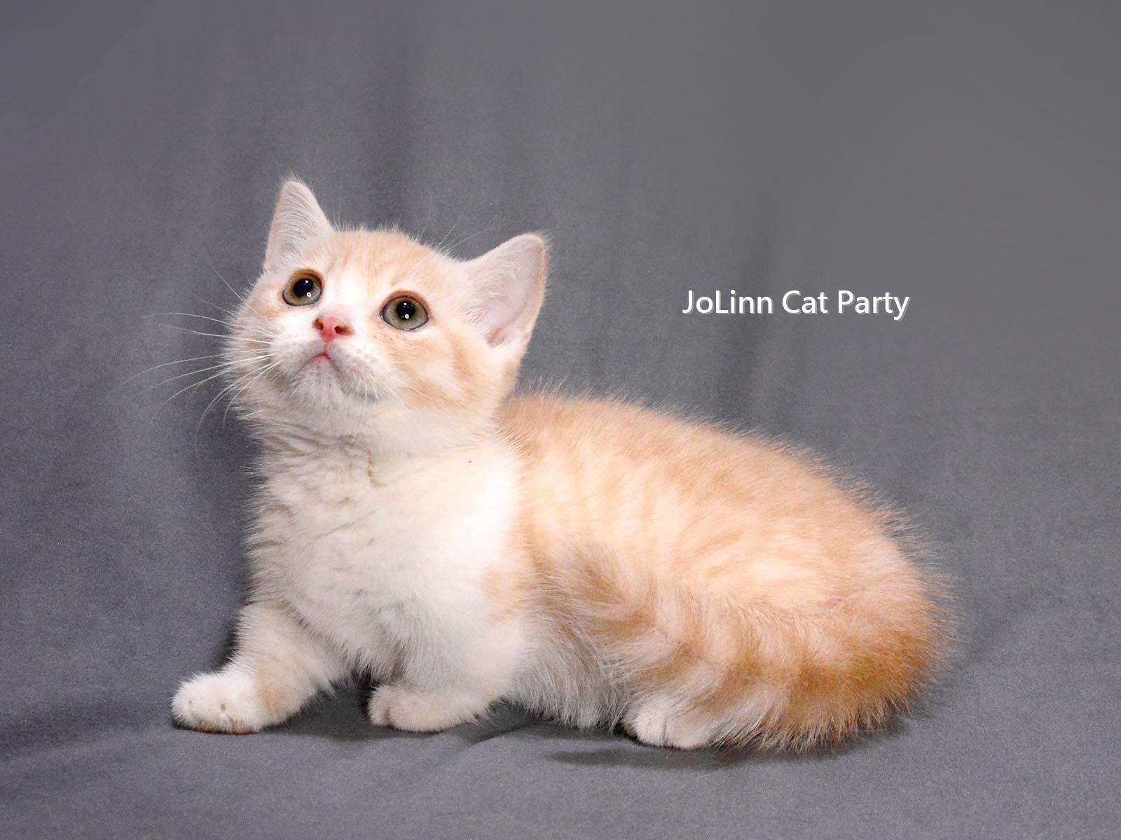 貓咪派對/白色 奶油加白 曼赤肯短腿貓