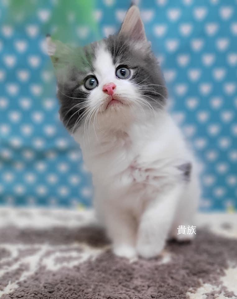貴族寵物坊/棕虎斑緬因貓超帥男孩