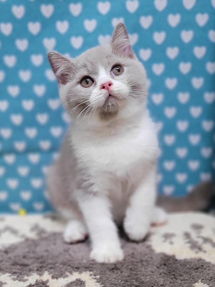 貴族寵物坊/紫丁香賓士英短大頭男孩
